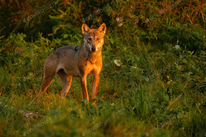 Wolf looking to the camera in wilderness in summer nature