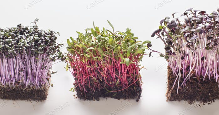 Three type of microgreens on white background