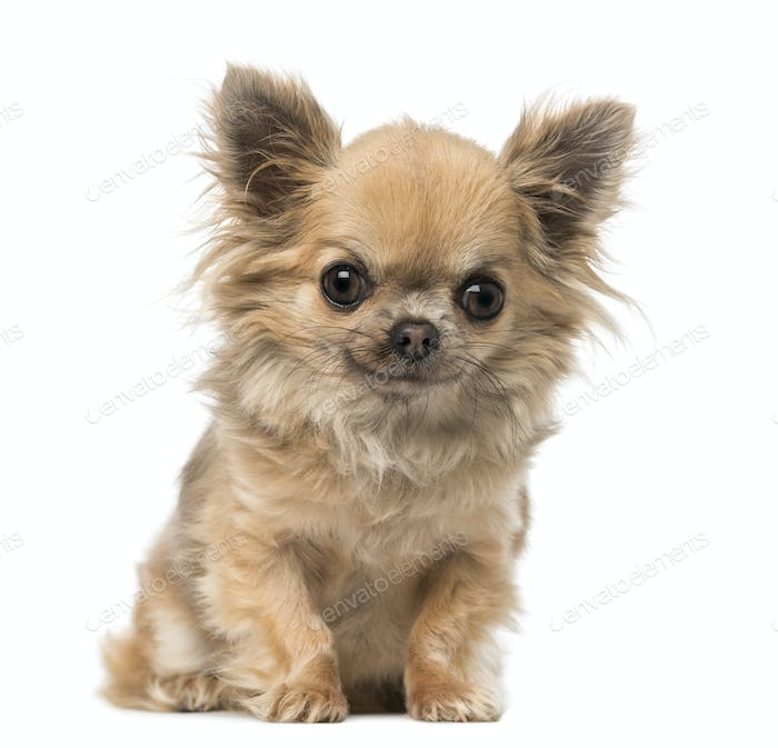 chihuahua sitting and looking