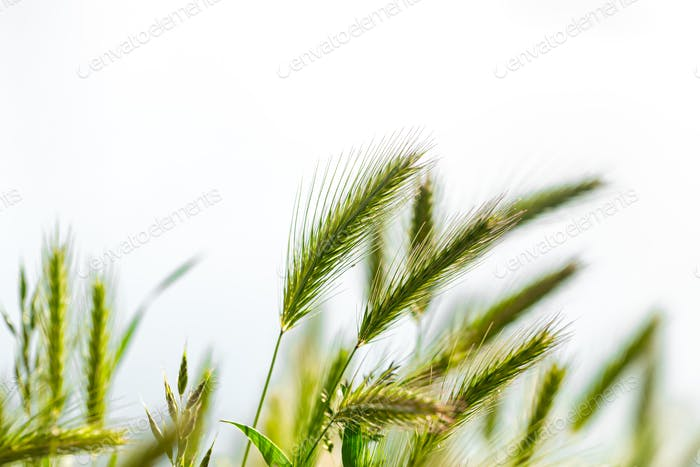 The background of the young beautiful green ears of wheat