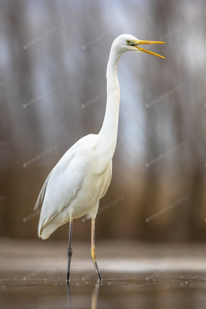 Great white Egret at lake