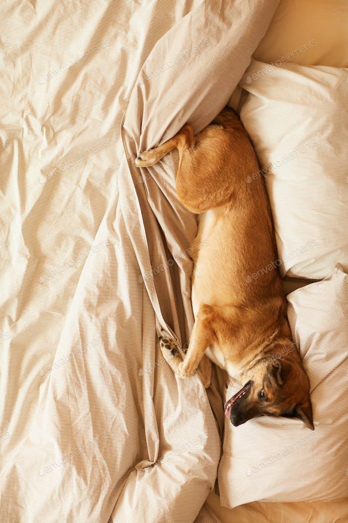Perro en el dormitorio