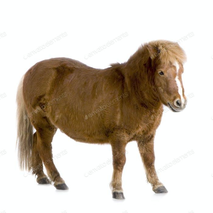 Shetland pony (13 years)