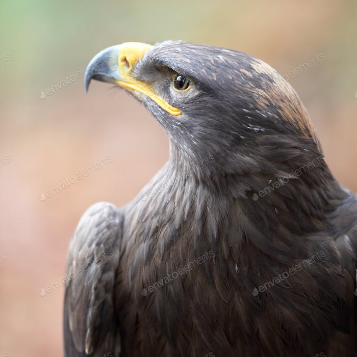 majestic steppe eagle close-up