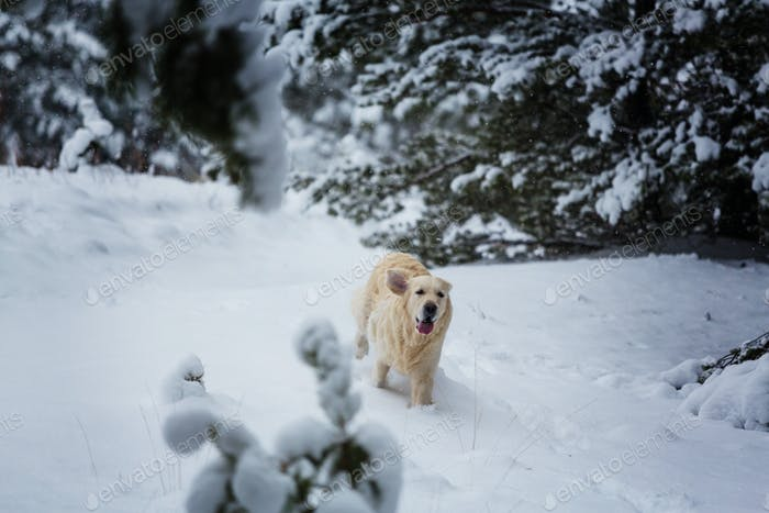 Retriever in winter forest