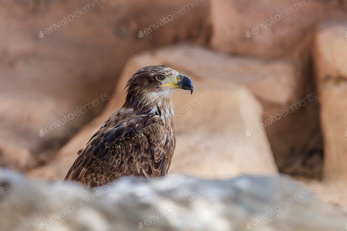 bald eagle in Tenerife, Spain