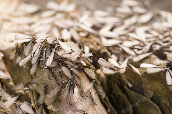 Winged individuals of termite