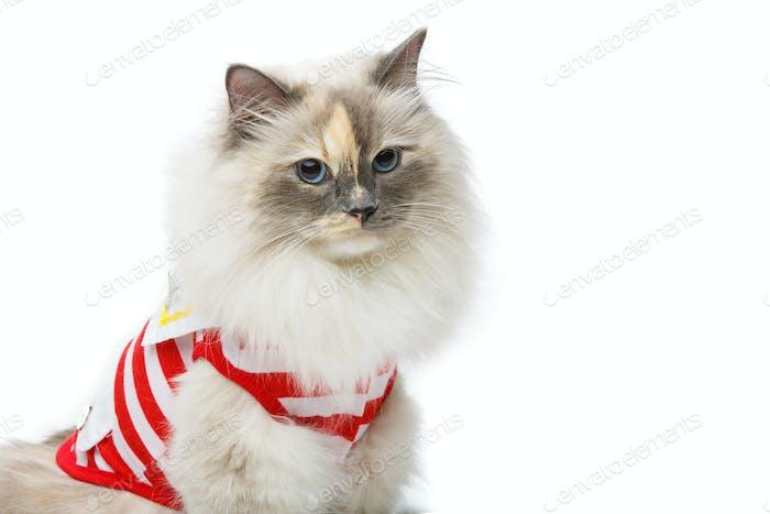 schöne Birma Katze in rotem Pullover