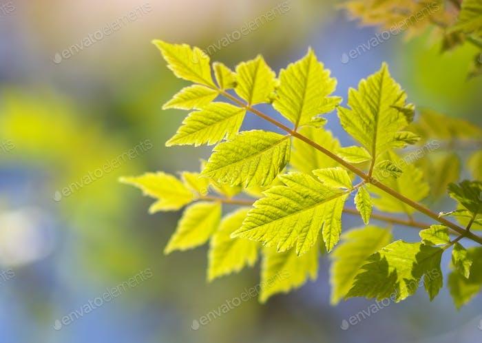 Spring and gebtle leaf of tree
