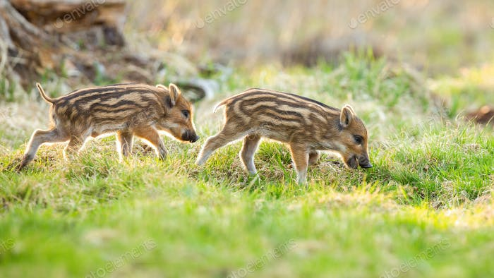 Young wild boars grazing on meadow in springtime nature
