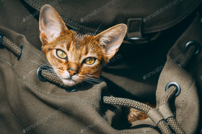Closeup red cat portrait: pet backpack for comfort tourism, traveling, walking. Animal care scenery
