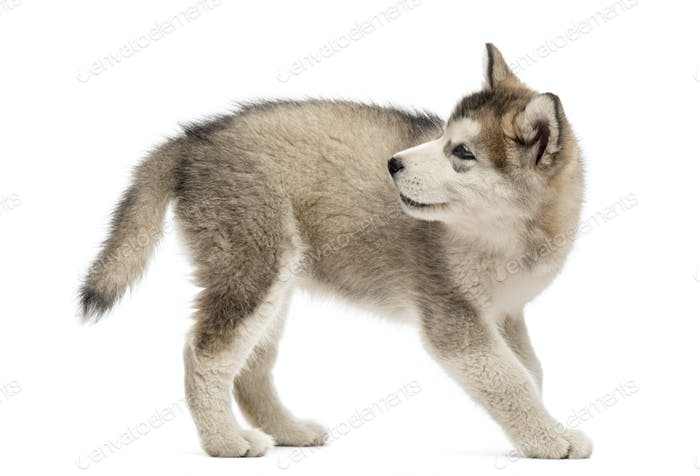 Side view of a Alaskan Malamute puppy looking back
