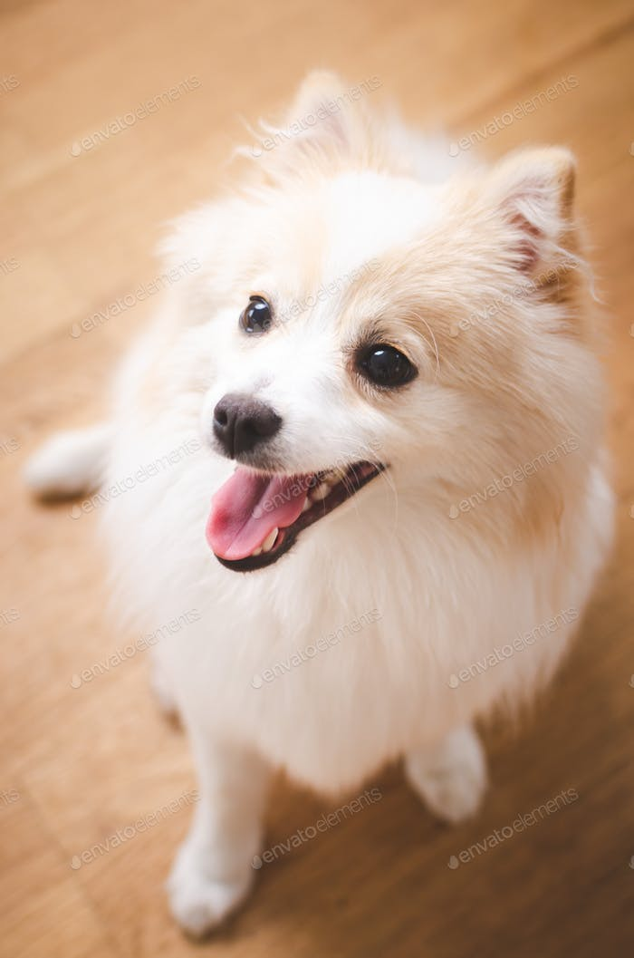 View from above at fluffy pomeranian dog against wooden floor.