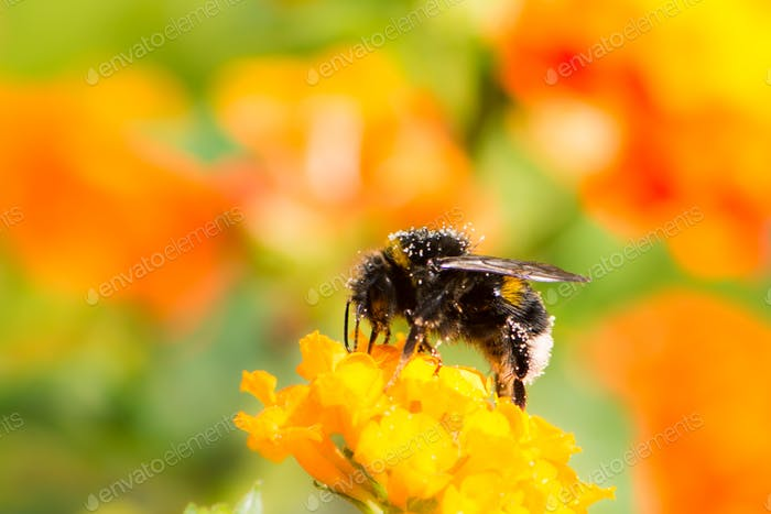 Bumblebee collecting nectar on a lantana camara flower