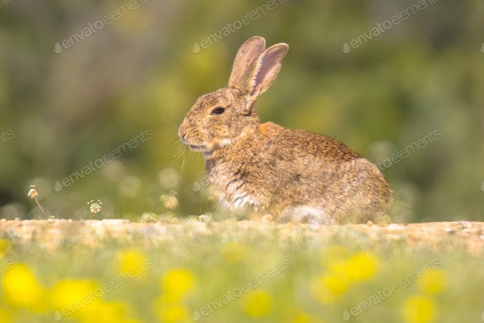 European rabbit basking