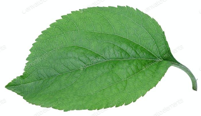 Apple green leaf