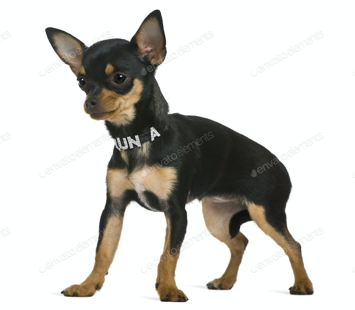 Chihuahua puppy, 6 months old, in front of white background