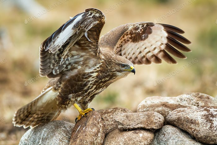 Majestic common buzzard with open wings while landing on the rocks