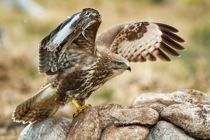 Majestätischer Mäusebussard mit offenen Flügeln bei der Landung auf den Felsen