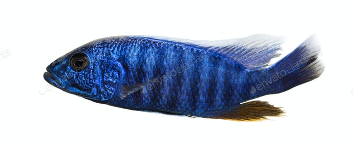 Side view of an Electric Blue Hap, Sciaenochromis ahli, isolated on white