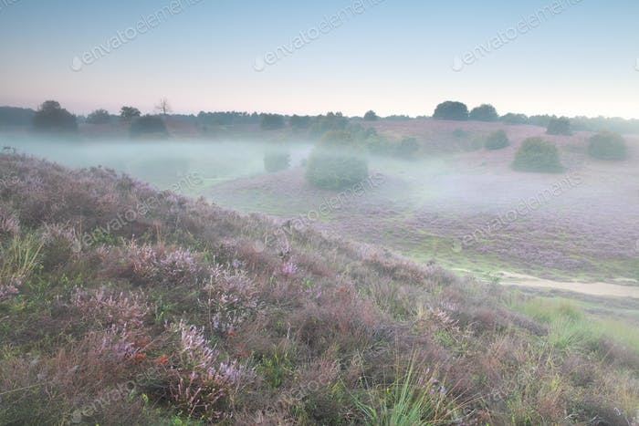 mist morning on heather flowering hills