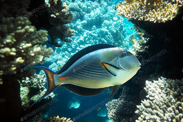 Surgeonfish on a coral reef in the Red Sea
