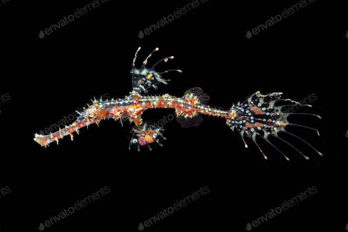 Red ornate ghost pipefish in Bali Indonesia