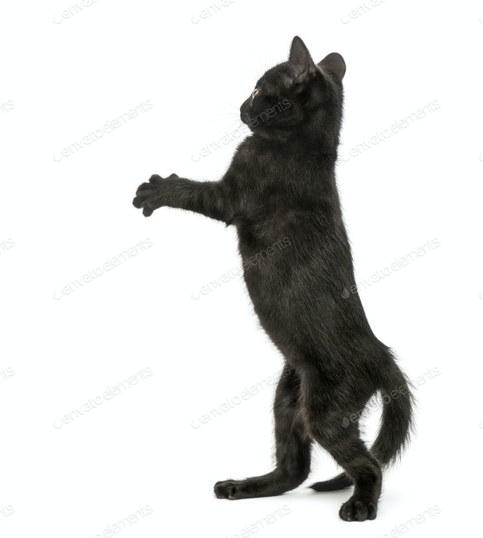 Back view of a Black kitten standing on hind legs, pawing up, 2 months old, isolated on white
