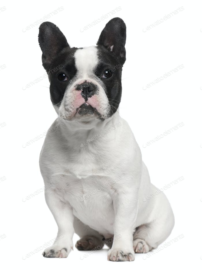 French Bulldog, 13 months old, sitting in front of white background