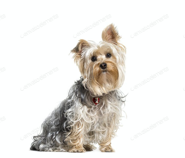 Yorkshire terrier dog sitting,cut out