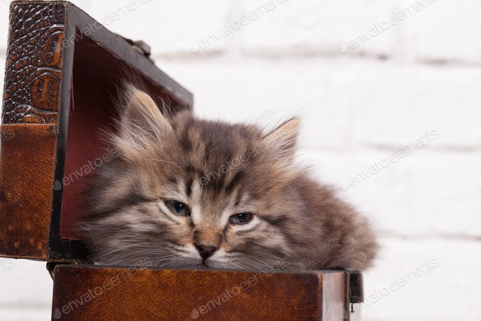 Young fluffy kitten in the chest