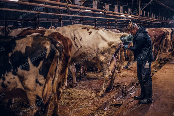 A veterinarian makes the procedure of artificial insemination of a cow inside a farm
