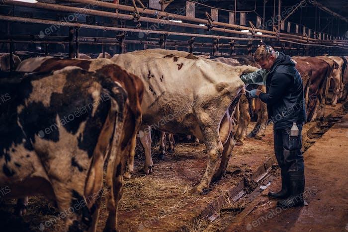 Ein Tierarzt macht das Verfahren der künstlichen Besamung einer Kuh in einem Bauernhof