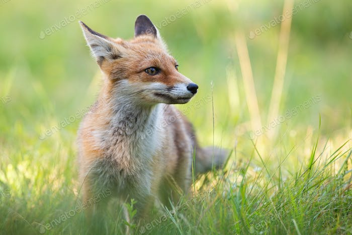 Cute red fox standing on green grass in summer with blurred background