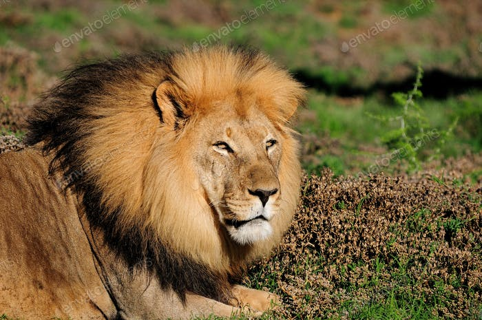 A male Kalahari lion, Panthera leo, in the Addo Elephant Nationa
