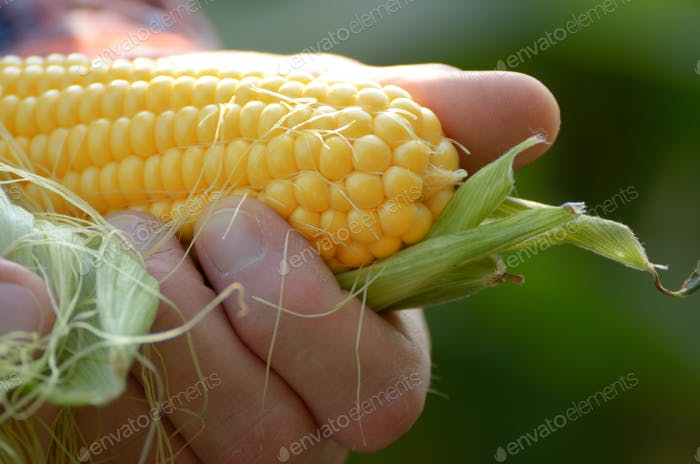 Ernte fertig ausgepackte Maiskolben in der Nahaufnahme der Bauern