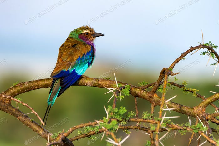 Lilac-breasted roller or Coracias caudatus perches on twig