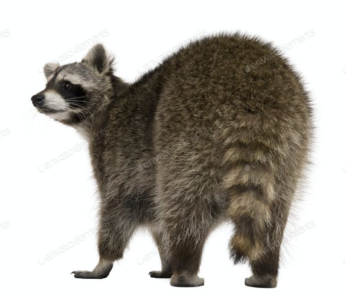 Rear view of Raccoon, 2 years old, standing in front of white background