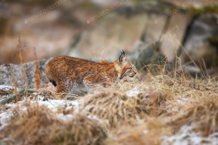 Focused eurasian lynx walking silent in the forest at early winter