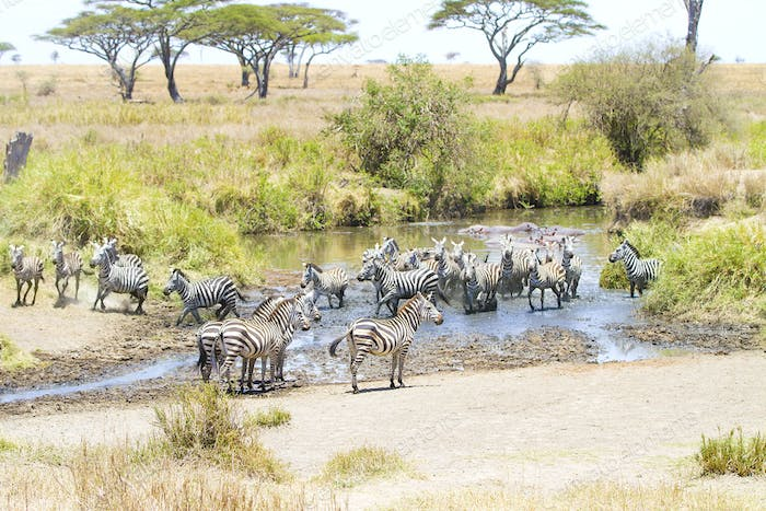 Zebras drinks water in Serengeti