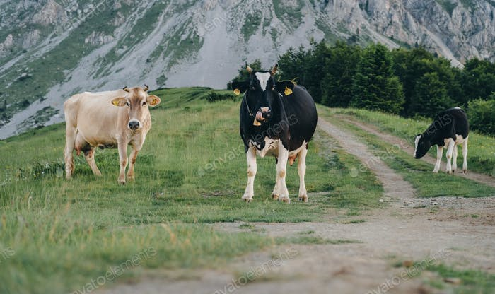 Cows eat grass against the background of mountains