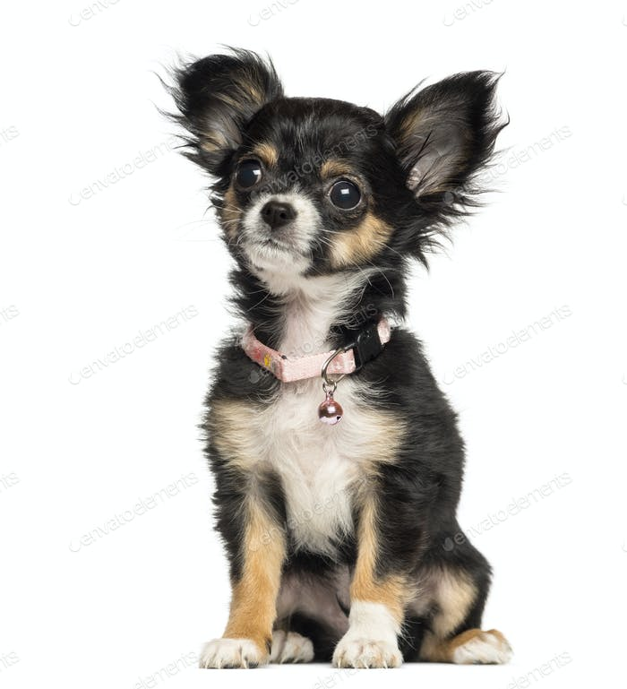 Chihuahua puppy wearing fancy collar, 3 months old, isolated on white