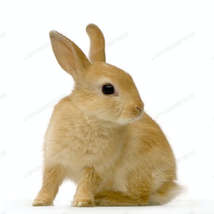 Spy rabbit