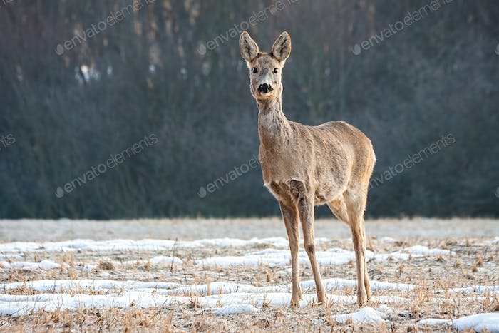 Cute roe deer doe standing on a meadow and facing camera with copy space