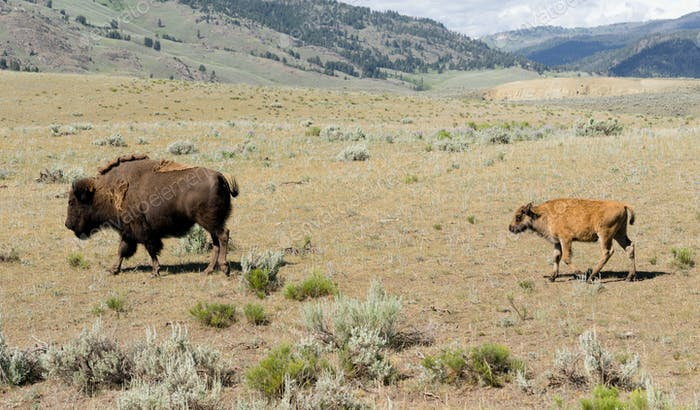 Young Buffalo Calf Follows Bull Male Bison
