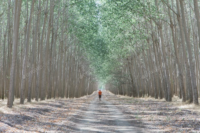 Man walking down tree lined dirt road, surrounded by commercially grown poplar trees.