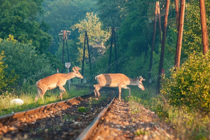 Two red deer stags crossing a railway track in the morning light