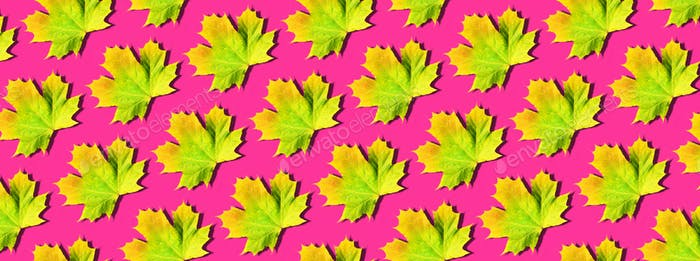 Orange, yellow, green maple leaves pattern on neon pink background. Top view. Flat lay. Season