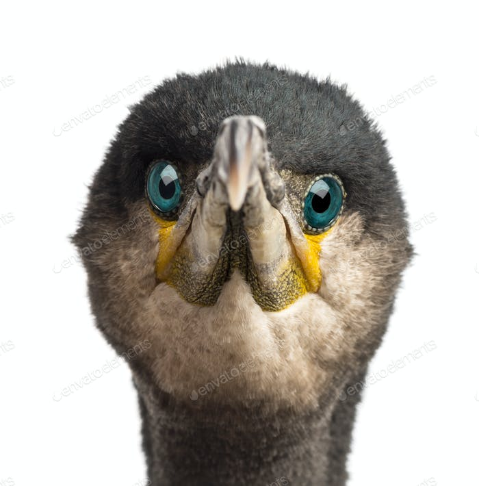 Great Cormorant, Phalacrocorax carbo, also known as the Great Black Cormorant