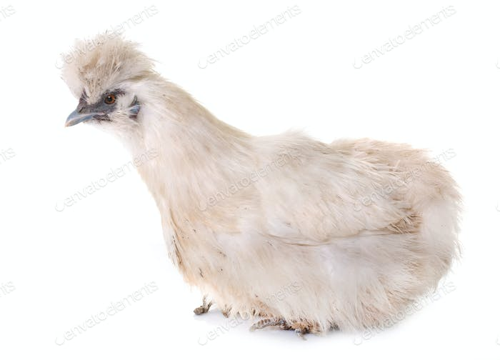 white silkie chicken